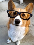 20-cute-dogs-with-glasses-020